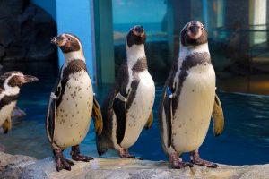新江ノ島水族館のペンギン